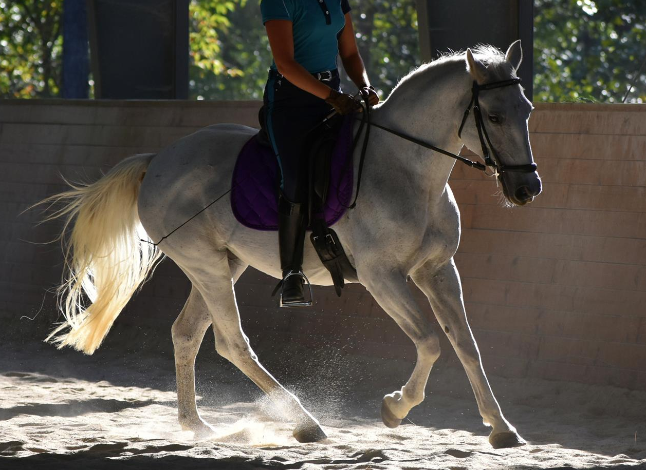 Cha-Cha the Lipizzan cantering with rider in the covered arena sand